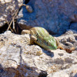 Lizard — Stock Photo #10655442