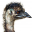 Stock Photo: Ostrich female head isolated