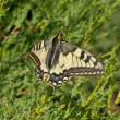 Old World Swallowtail — Stock Photo