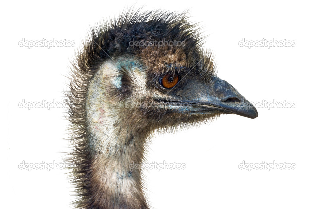 Close-up on a ostrich's head in front of a white background — Stock Photo #10692389