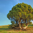 Tree on mountain — Stock Photo #9465994
