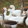 Stock Photo: Gaggle