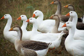 Gaggle on a grass. Outdoors — Stock Photo