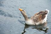 Grey Goose — Stock Photo