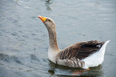 Goose in lake — Stock Photo