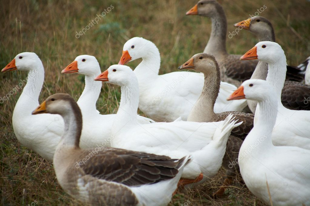 Gaggle on a grass. Outdoors — Stock Photo #9903060