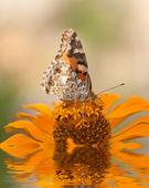 オレンジ色の花を蝶します。 — ストック写真
