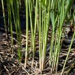 Cane thicket — Stock Photo