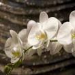 Stock Photo: White orchid