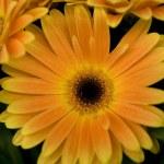 Orange marguerite — Stock Photo