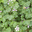 Malva sylvestris - Stock Photo