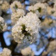 Cherry tree in blossom — Stock Photo