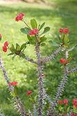 Euphorbia milii — Stock Photo
