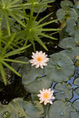 Nymphaea , Water Lilly — Stock Photo