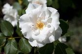 Camélia branca — Foto Stock