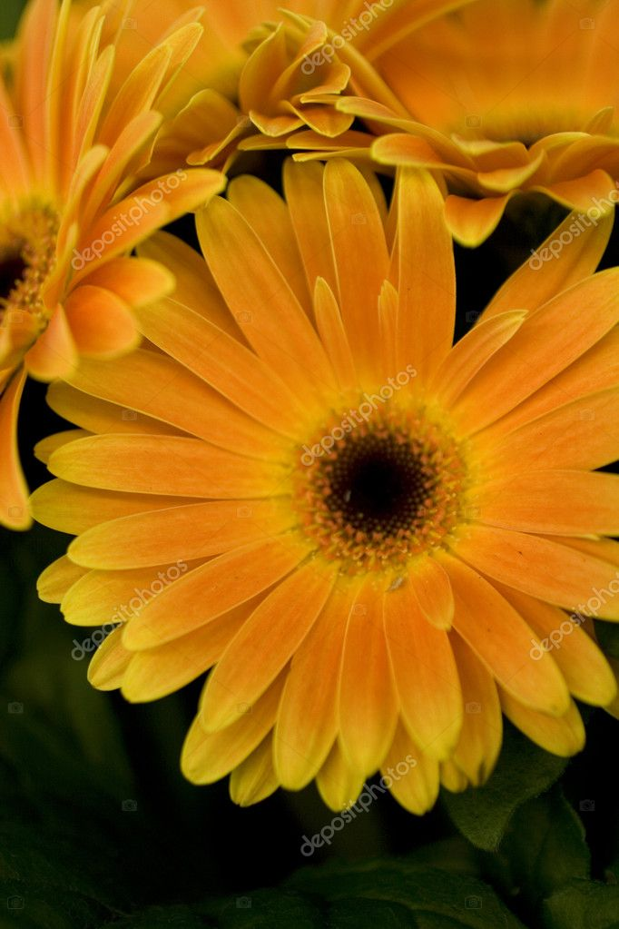 Close up of orange marguerite — Stock Photo #8766689