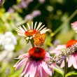 Butterfly on Echinacea flower — Stock Photo