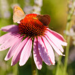 Butterfly on Echinacea flower - Stock Photo