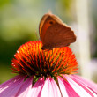 Stock Photo: Butterfly on Echinacea flower