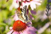 бабочка на цветке эхинацеи — Стоковое фото