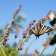 Old World Swallowtail on lavender flowers - Stock Photo