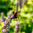 Bee on lavender — Stock Photo #9406245