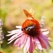 Butterfly on Echinacea flower — Stok fotoğraf