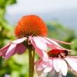 Butterfly on Echinacea flower — Stock Photo #9407766
