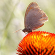 Butterfly on Echinacea flower — Stock Photo #9408217