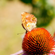 Butterfly on Echinacea flower — Stock Photo #9409624