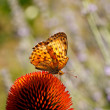 Butterfly on Echinacea flower — Stock Photo #9409863