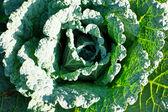 Kapusta — Zdjęcie stockowe