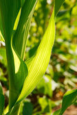 Closeup of Corn Leaves — Stock Photo