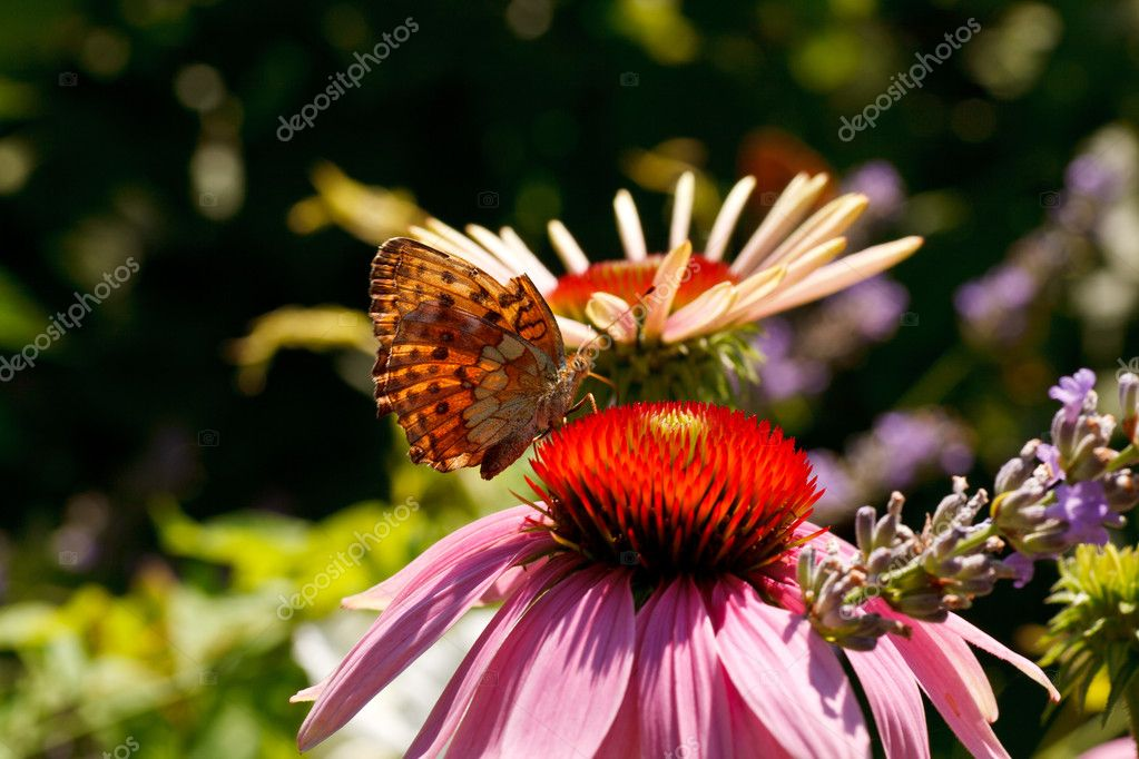 Close up of Butterfly on Echinacea flower in the spring season — Stock Photo #9424506