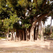Big ficus tree in Palermo — Stock Photo