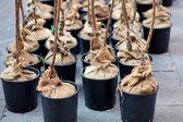 Trees in pot — Stock Photo