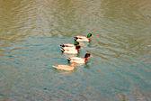 утки, река timavo — Стоковое фото