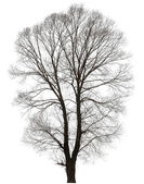 Large bare tree without leaves. — Stock Photo