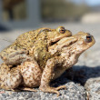 Mating toads — Stock Photo #9746601
