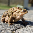 Mating toads — Stock Photo #9746609