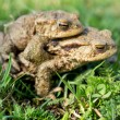 Mating toads — Stock Photo