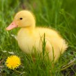 Little duckling - Stock Photo