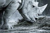 Nosorożec biały — Zdjęcie stockowe