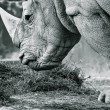 Stock Photo: White rhino