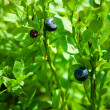 Small blueberries - Stock Photo