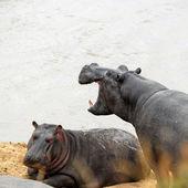 Hippopotamus — Zdjęcie stockowe