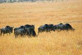 Gnoe antilopen in de savanne — Stockfoto