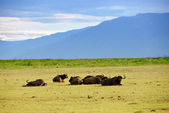 Cape race buffalo — Stock Photo