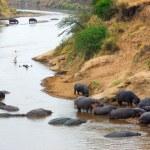 Постер, плакат: Mara river hippopotamus Kenya
