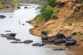 Mara river, hippopotamus. Kenya — Stock Photo